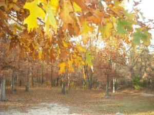 """""""Leaves in Arkansas"""" by June (c) 2011"""